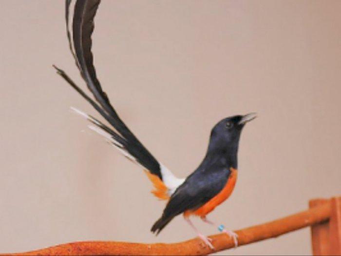 Jenis Burung Murai Batu Termahal di Indonesia